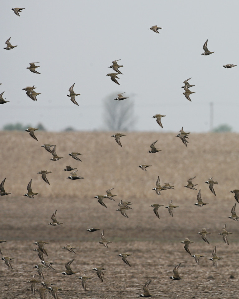 American Golden-Plovers, Benton County, Indiana, May 4, 2007.