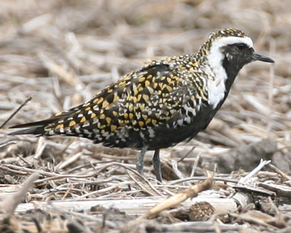 American Golden-Plover, Benton County, Indiana, May 4, 2007.  These were located on the westside of 100E between 300N and 400N.  Approximately 400 sighted from 100E and 400N.