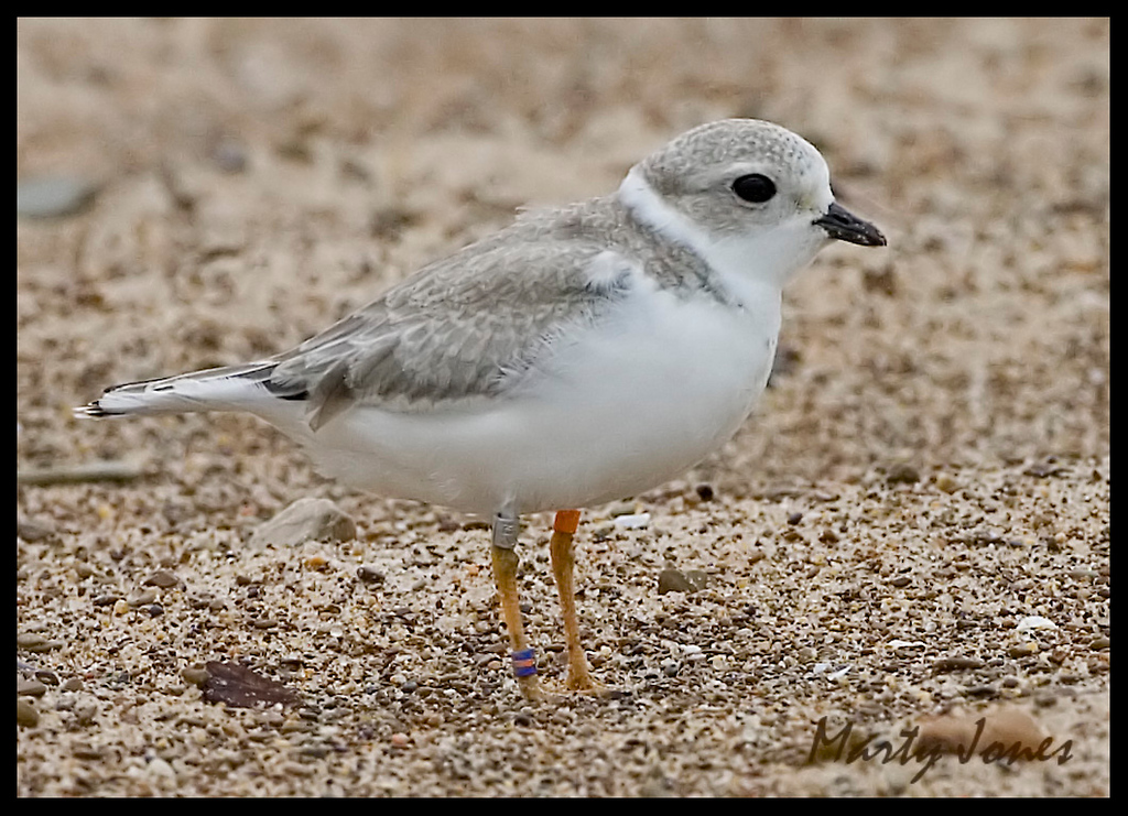 Piping Plover, Indiana Dunes State Park, Lake County, Indiana, September 5, 2008.  Leg bands indicate this is a northern Michigan banded bird.