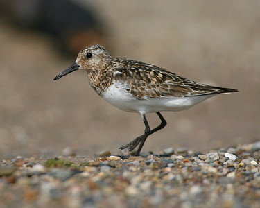 Sanderling on the Beach at Mt. Baldy, Lake Michigan, Indiana, July 2007.