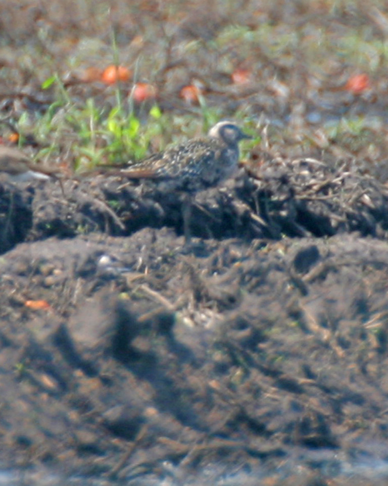 American Golden Plover, Photographed at the Tomato Farm, CR 500 S 450 E in Porter County, Indiana, Sept 5, 2006.