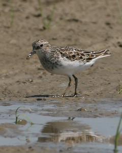 Semipalmated Sandpiper, Vigo County, Indiana, May 12, 2007.