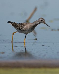 Lesser Yellowlegs, Pine Creek/Feldt Marsh, August 30, 2007.