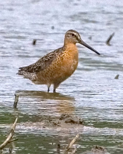 Short-billed Dowitcher, Harlan Wetland, Arbuckle and Kennett Road, Vigo County, Indiana, July25, 2008.