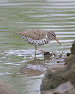 Spotted Sandpiper, Chinook Mine South, Vigo County, Indiana, May 1, 2006.