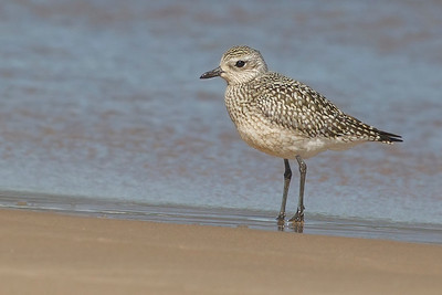 Black-bellied Plover, Miller Beach, Lake Michigan, Lake County, Indiana, September 23, 2012.