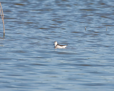 Red-necked Phalarope, Goose Pond 10N, Greene County, Indiana, August 18, 2010.  My 289th photographed bird species in Indiana.