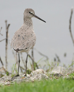 Willet, Brazil Lagoons, Clay County, Indiana, May 4, 2007.  Discovered by Jim Sullivan.