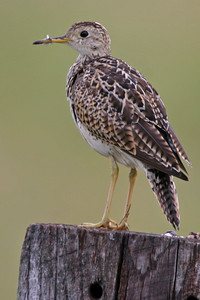 Upland Sandpiper, Universal Mine, Vermillion County, Indiana, June 27, 2006.