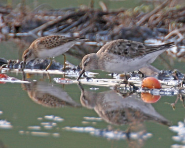 Probably White-rumped Sandpipers, Tomato Farm at CR 500 S 450 E in Porter County, Indiana, Sept 5, 2006.