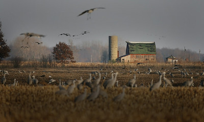 Sandhill Cranes on Indiana Farm, Jasper County, Indiana, December 12, 2007