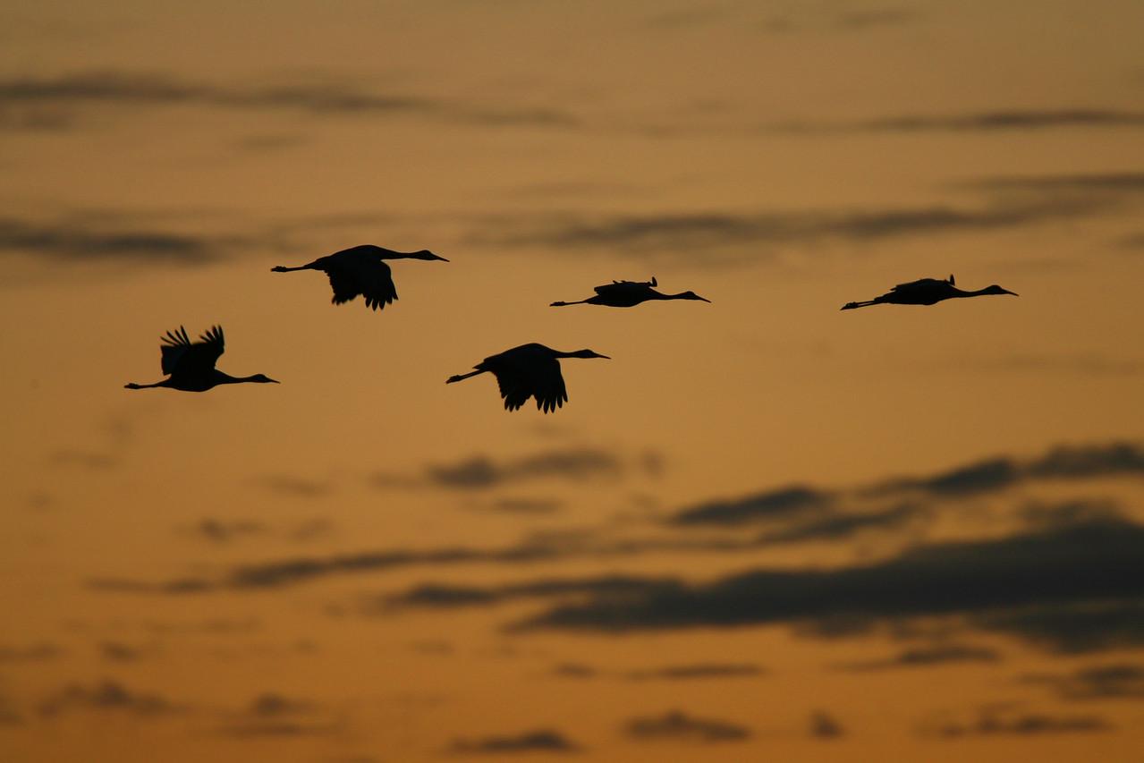 Sandhill Cranes, Jasper-Pulaski, October 24, 2006.