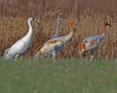 Whooping Cranes, Ewing Bottoms, Jackson County, Indiana, Nov 24, 2006. According to Dan Kaiser, adult whooper (far left) is #7-01, a five year old female from the first year of the Operation Migration program, 2001.  Her radio transmitter is currently nonfunctional.  The two juveniles are #'s 26 & 28-06, both direct autumn release (DAR) birds, released to migrate with adult Whooping Crane and Sandhill Crane rather than following an ultralight.  They are banded red over green left (both) and white red white on one and the other white over red.  One of these two has a satellite tracking transmitter as well as the normal transmitter.