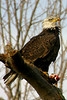 Bald Eagle eating fish, West Lafayette, Indiana along the banks of the Wabash River, March 1, 2006.