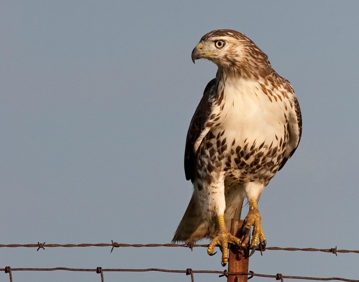 Red-tailed Hawk, Knox County, Indiana, September 20, 2010.