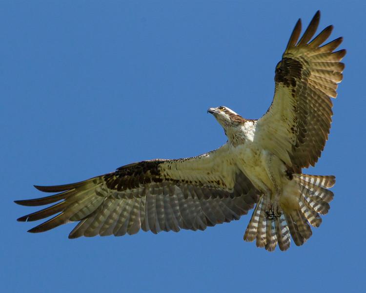 Raptors - 14 of the 16 species expected in Indiana have been ...