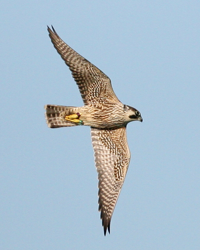 Peregrine Falcon flying over the US Steel Impoundment, Gary, Indiana, August 30, 2007.  Note bands on both legs.