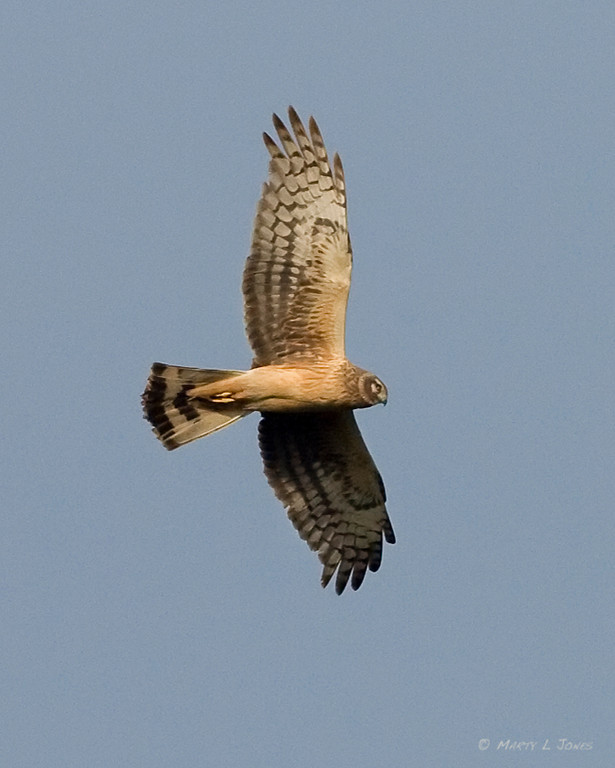 Northern Harrier, Pine Creek Gamebird Habitat, April 20, 2010.
