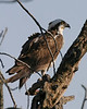 Osprey, Potato Creek State Park, St. Joseph County, Indiana, April 10, 2006.