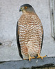 Cooper's Hawk, found on Paris Avenue setting on 2nd story ledge of a downtown bldg in WTH.  November 27, 2006.