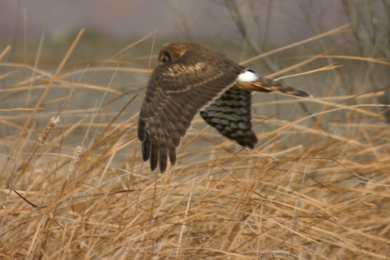 Northern Harrier, Universal Mine, January 13, 2006.