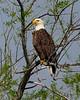 American Bald Eagle, Goose Pond, Main Pool East, April 2010.