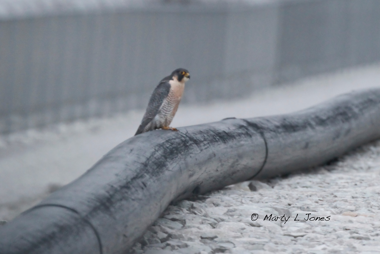 Found late in the day was this Peregrine Falcon, Duke Power Plant property, Terre Haute, Indiana, Christmas Bird Count, December 17, 2011.