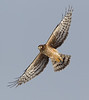 Northern Harrier, Vermillion County, Indiana, January 1, 2013.