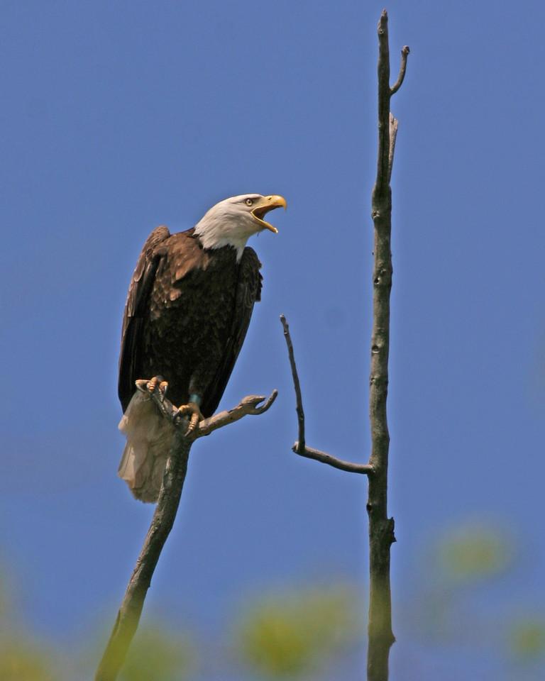 Bald Eagle, along Wabash River, north of Newport, Vermillion County, Indiana, April 24, 2006.