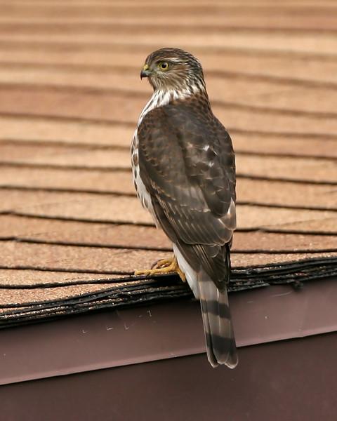 Sharp-shinned Hawk on neighbor's roof, NE Vigo County, Indiana, November 11, 2007.