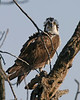 Osprey, Potato Creek State Park, St. Joseph County, Indiana, April 10,, 2006.
