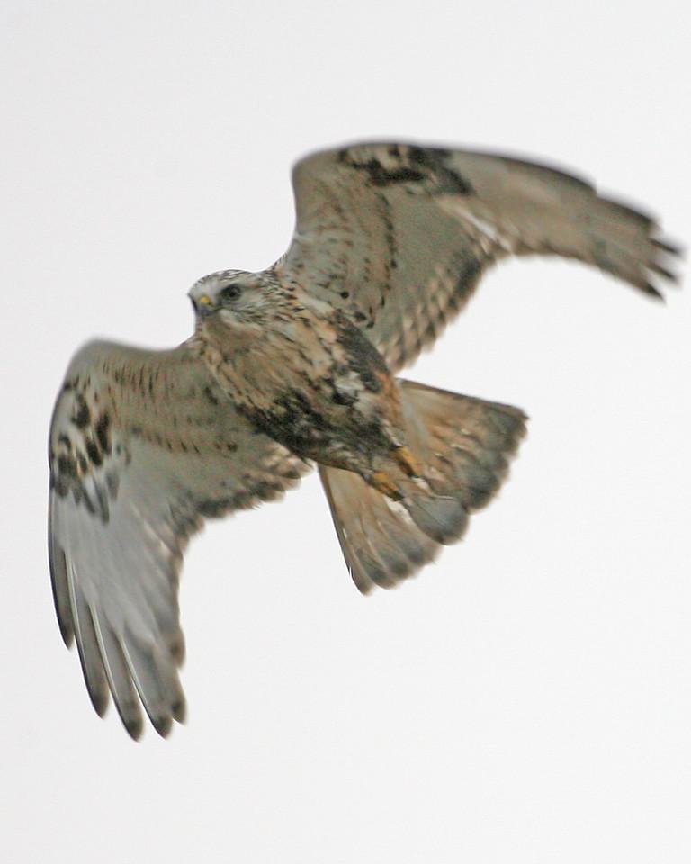 Rough-legged Hawk, light adult, Pine Creek Gamebird Habitat, Benton County, Indiana, December 12, 2006.