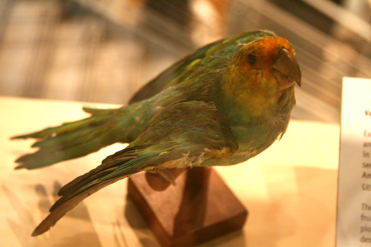 According to the Indiana State Museum there are two birds native to Indiana, the Passenger Pigeon and the Carolina Parakeet, that are considered extinct.  A mount of both of these former species is on display.  (The Museum says both the Eskimo Curlew and the Ivory-billed Woodpecker are not officially considered extinct)  Information says the Museum has an Eskimo Curlew mount however I did not see it displayed.  