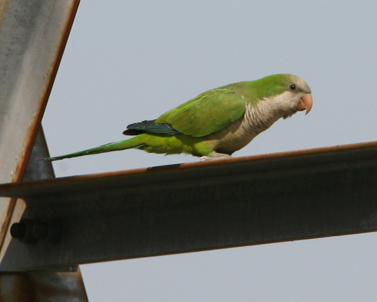 Monk Parakeet, Highland, Indiana, May 14, 2007.