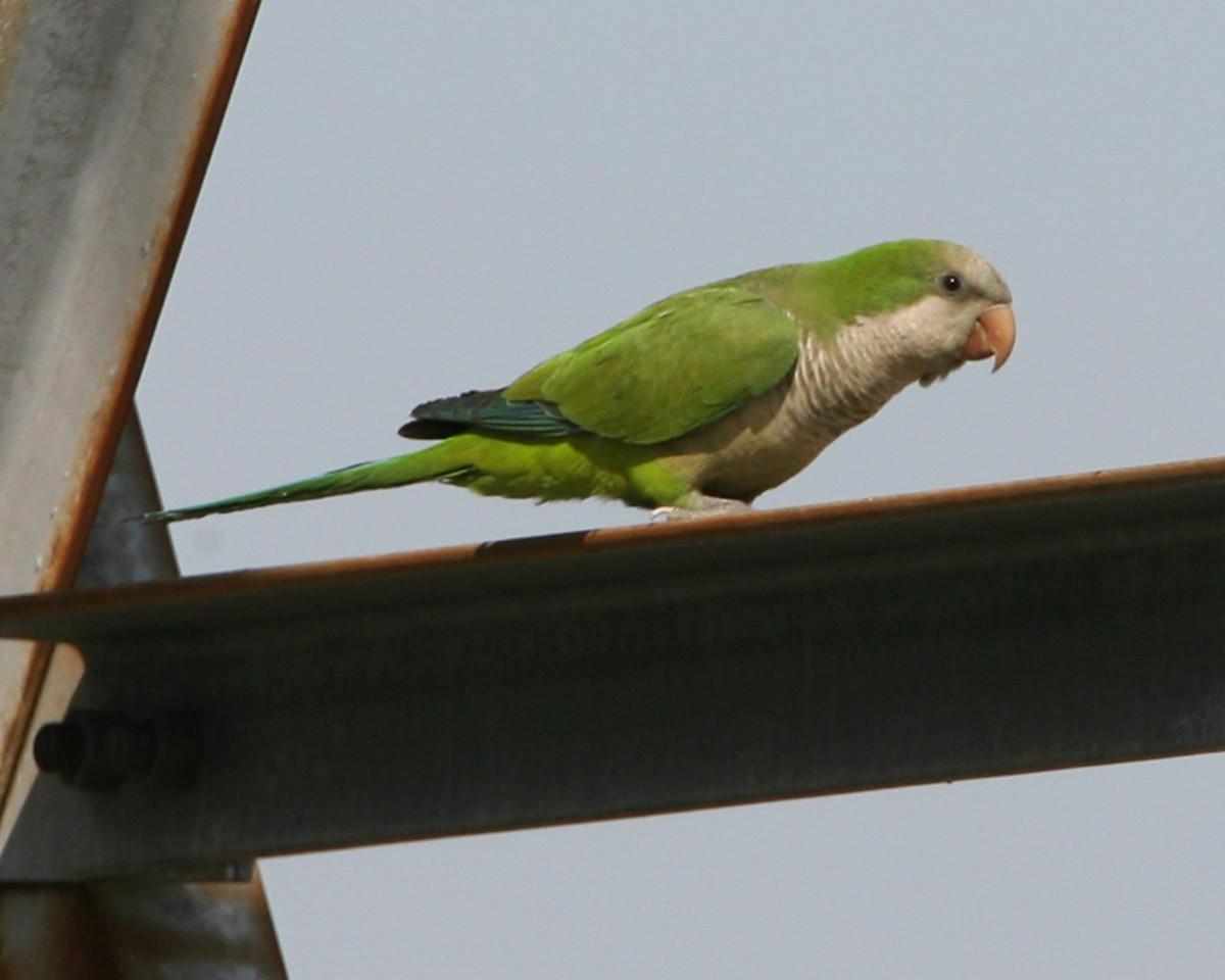 Monk Parakeet, Highland, Indiana, May 14, 2007.