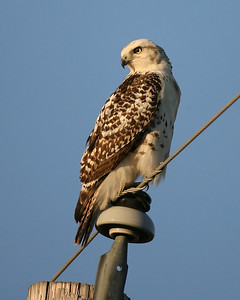 Krider's Red-tailed Hawk, Chinook Mine North, November 1, 2007.  5:50 pm.