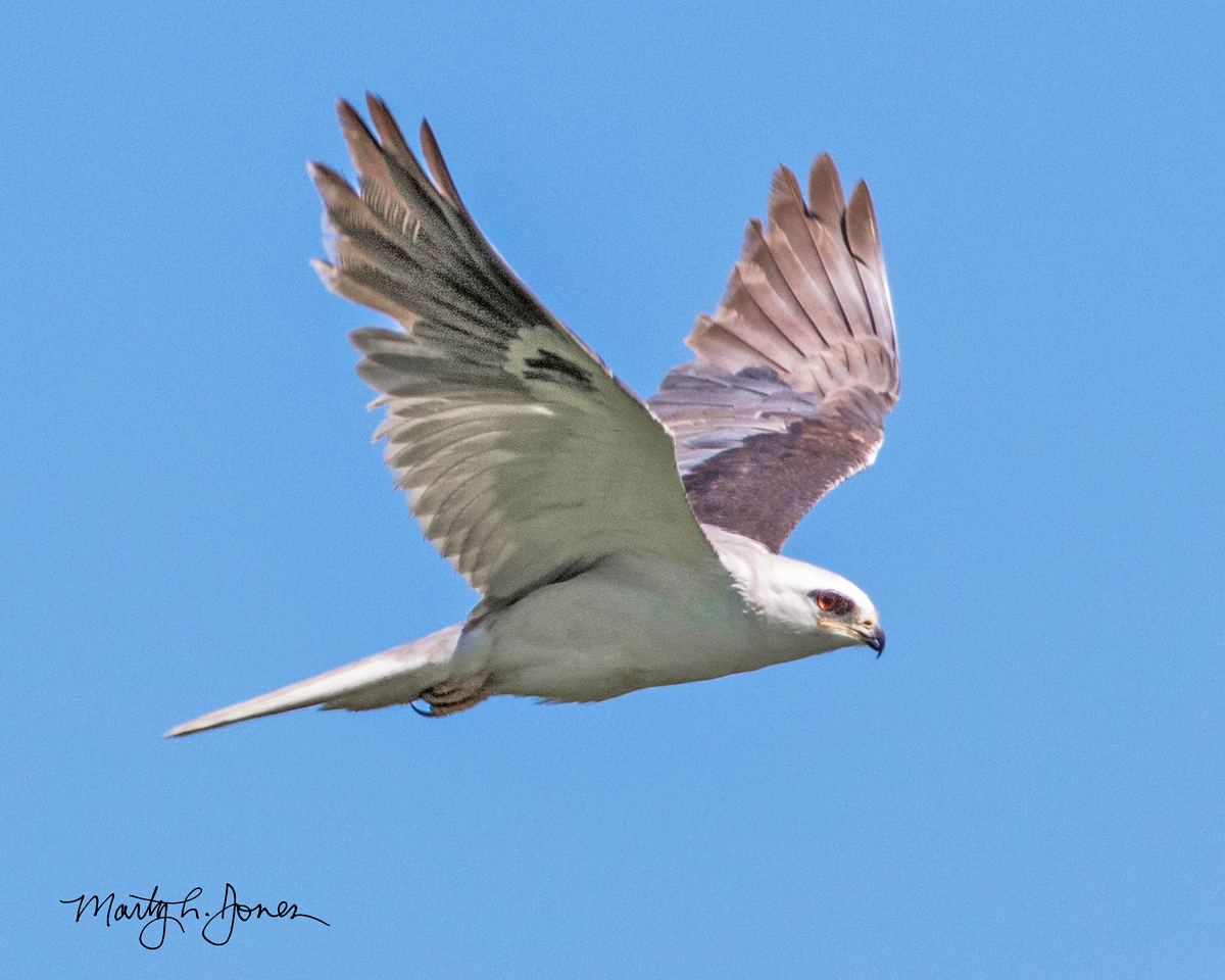 White-tailed Kite, #334 photographed bird species in Indiana.   Reynolds Nature Preserve, Porter County, Indiana, May 2018.