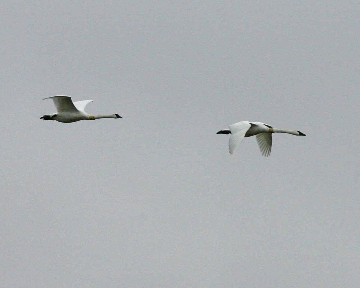 Trumpeter Swans, Universal Mine, Vermillion County, Indiana, January 5, 2007.