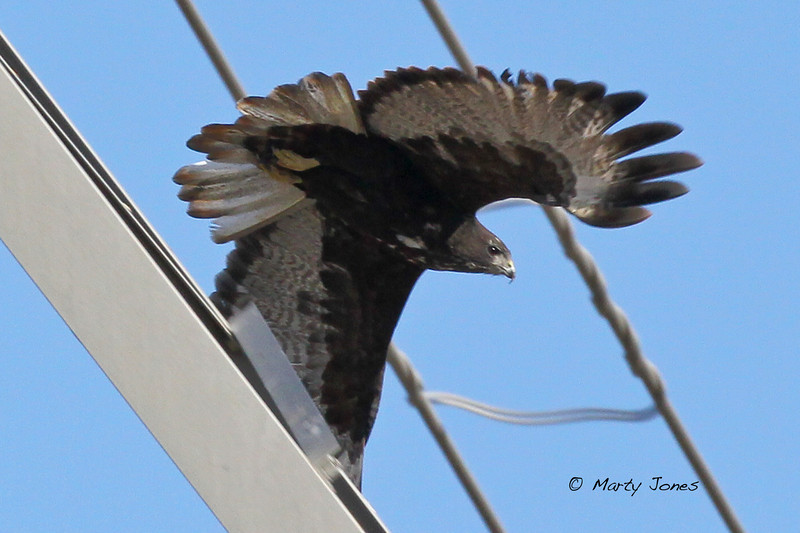 Harlan's Hawk, Greene County, Indiana, November 1, 2011.