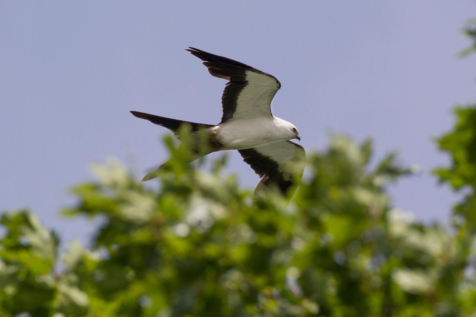 Swallow-tailed Kite, Tippecanoe County, Indiana, June 4, 2013, #322.