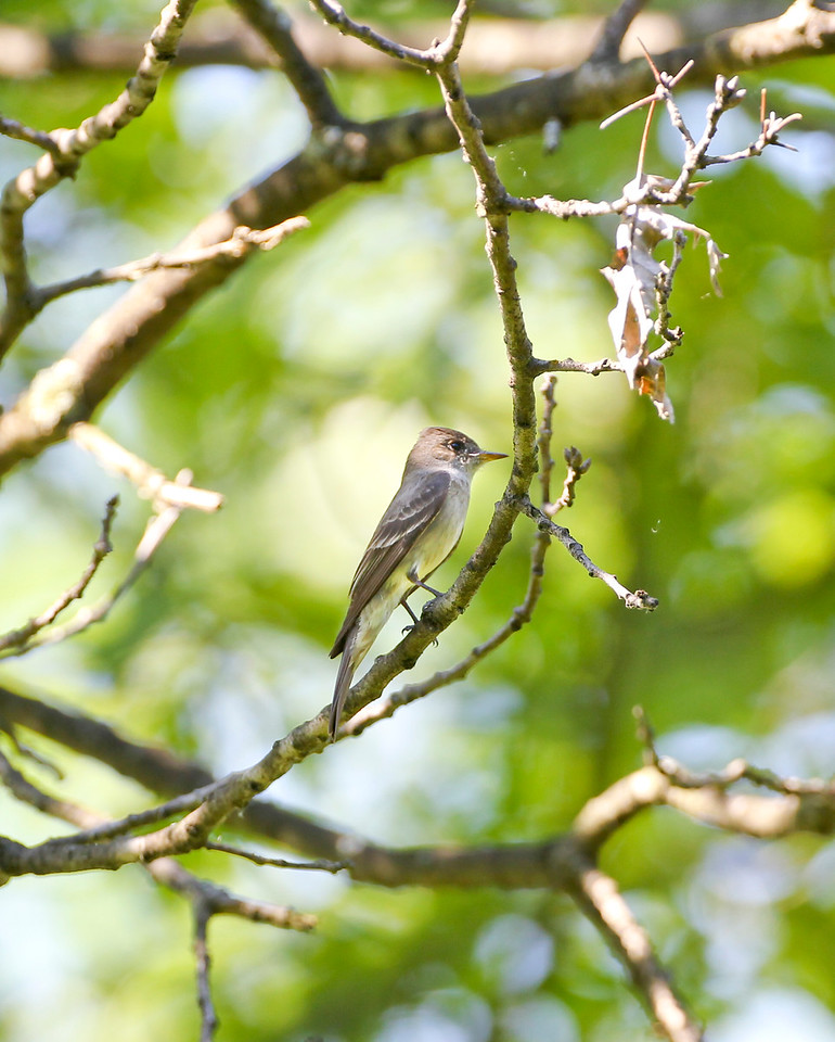 Western Wood-Pewee, Hoosier Prairie Nature Preserve, 1500 West Main Street, Griffith, Lake County, Indiana, July 5, 2011.  My 299th bird species photographed within the state of Indiana.