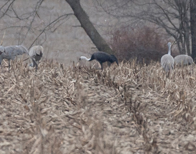 Asian Hooded Crane, Beehunter Marsh, Greene County, Indiana, February 9, 2012.  #305