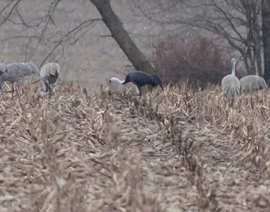 Asian Hooded Crane, Beehunter Marsh, Greene County, Indiana, February 9, 2012.  #305