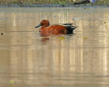Cinnamon Teal, Memorial Park, LaPorte, LaPorte County, Indiana, April 10, 2006.