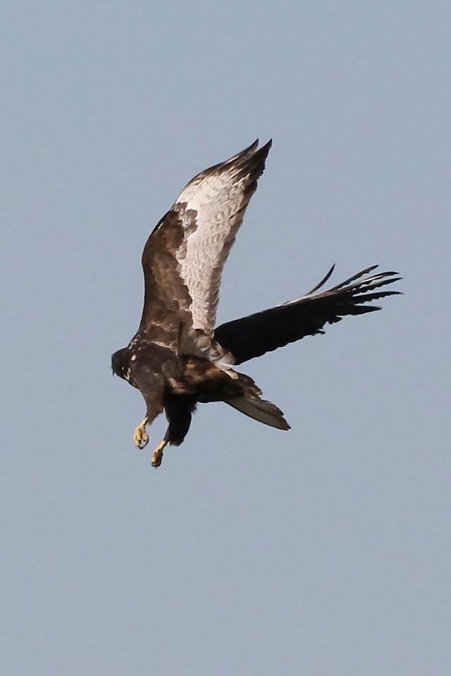 Harlan's Hawk, Greene County, Indiana, November 1, 2011.