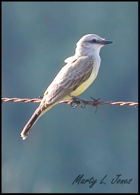 Western Kingbird, Chinook Mine South, Vigo County, Indiana, September 23, 2008. A rare bird for Indiana.