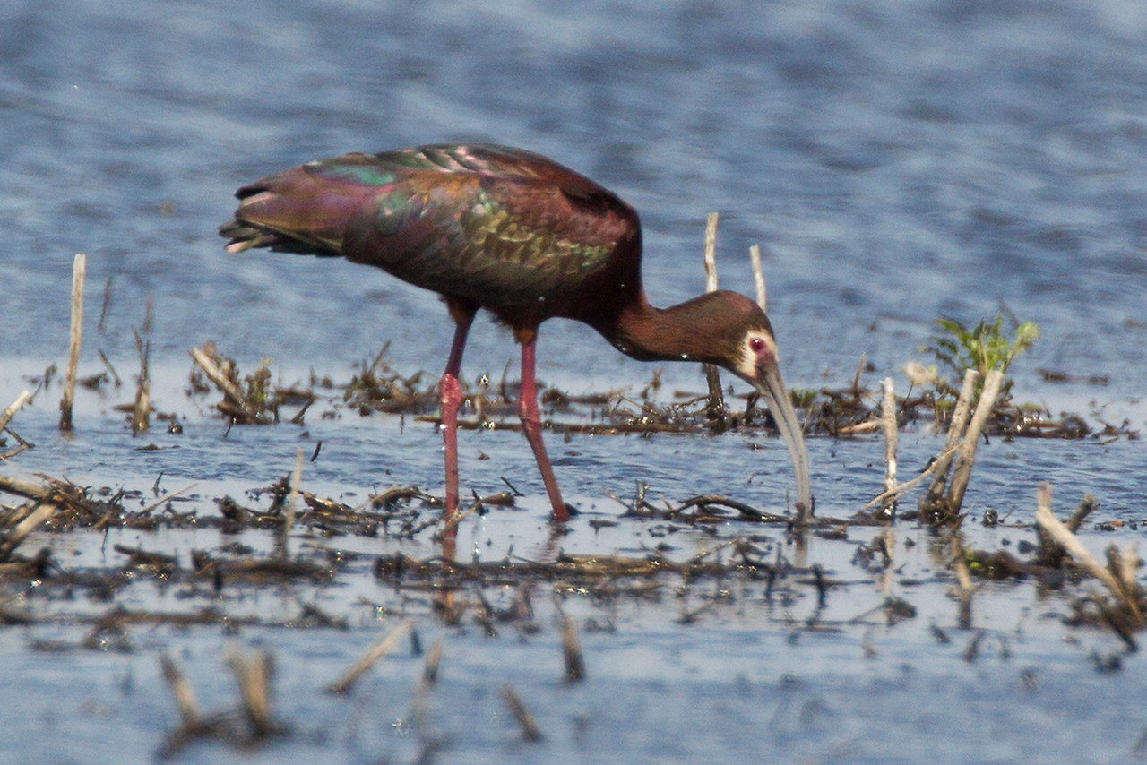 White-faced Ibis, Kankakee Sands Nature Conservancy, CR 225N, Newton County, Indiana, April 2013.