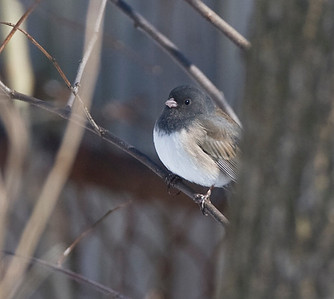 """Oregon"" Junco, Bodwell Residence at 1520 Liberty, Terre Haute, Indiana, February 13, 2010.  #278"