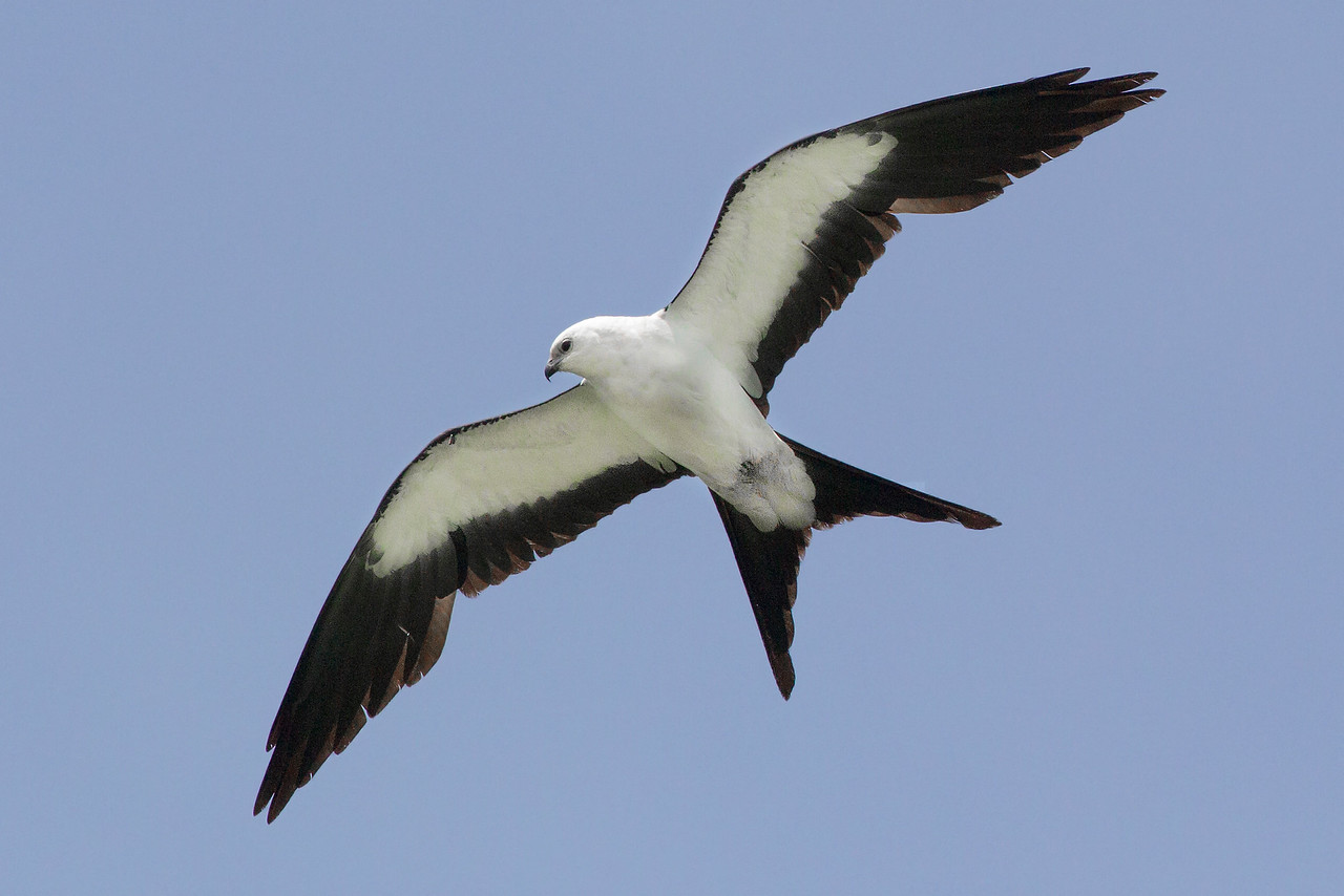 Swallow-tailed Kite, Tippecanoe County, Indiana, June 4, 2013, #322.