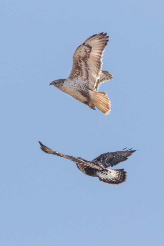 Ferruginous Hawk (above) and Rough-legged Hawk